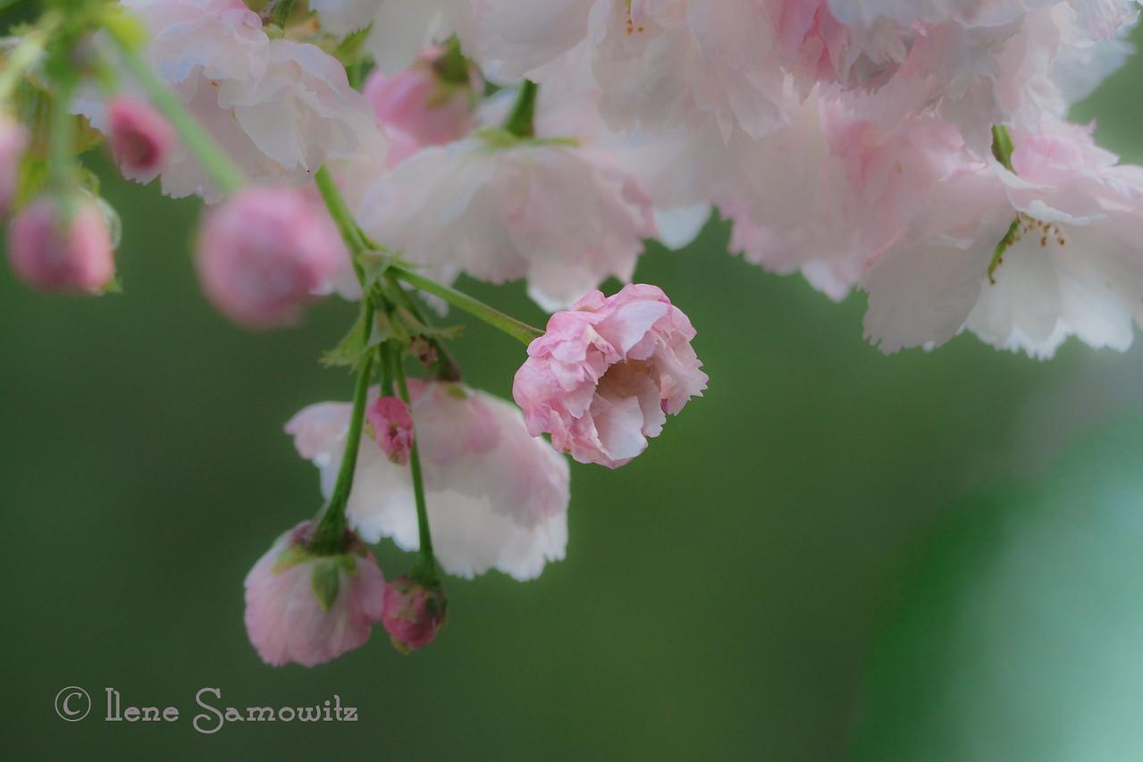 Backyard Cherry Blossoms