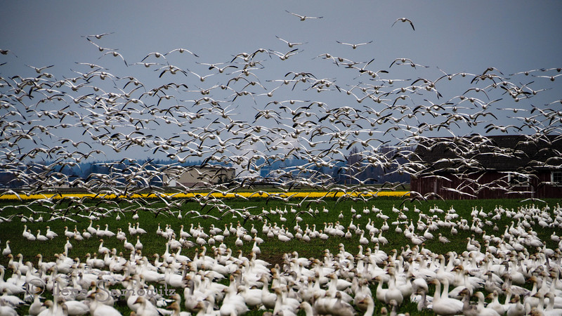In the air. These snow geese started flying. The yellow in the fields are daffodils.