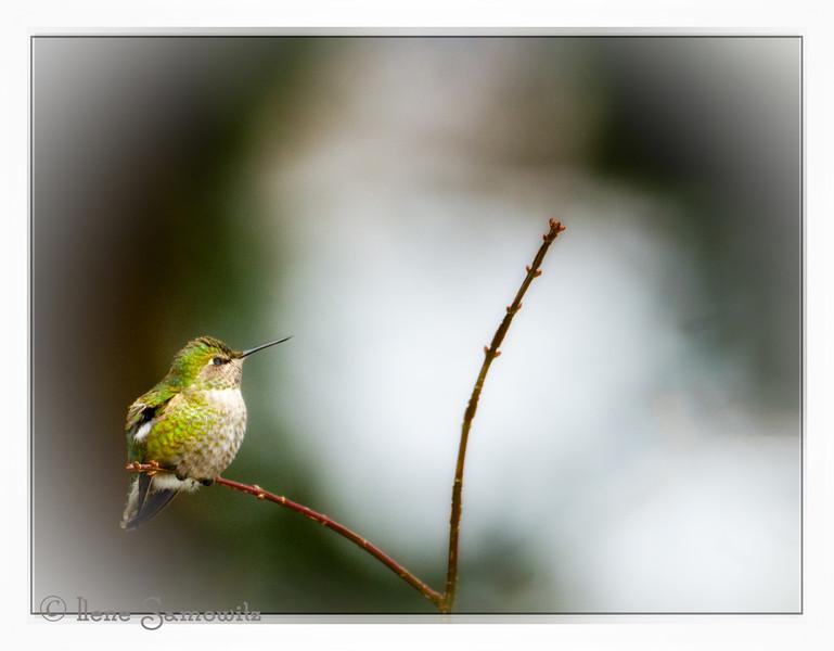Hummingbird on V