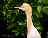 Portrait of Cattle Egret found in the Ranganthittu Bird Sanctuary outside of Mysore, India