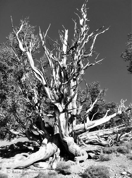 Bristlecone Pine in the White Mountains CA