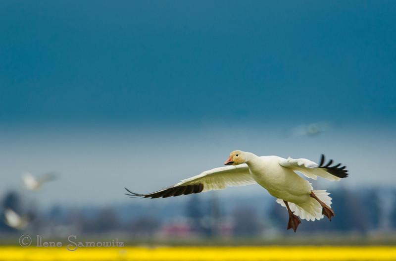 Snow Goose Touchdown <br /> <br /> Skagit, Fir Island, Washington
