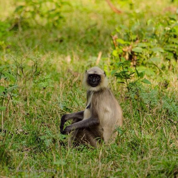 Monkey in Nagerhole, India