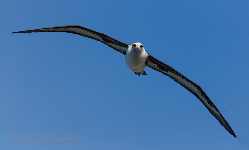Laysan Albatross at Kileaua Lighthouse, Kauai.