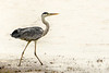S for the alphabet challenge. This is a Grey Heron photographed in India.