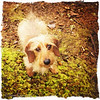Maggie Mae The cutie of the day. My mini wired haired red dachshund.