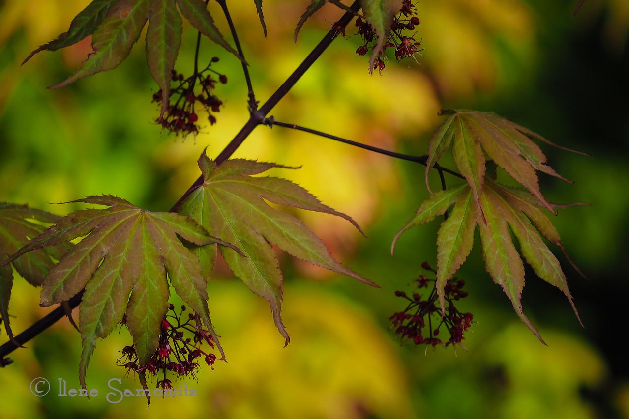 Backyard Japanese Maple