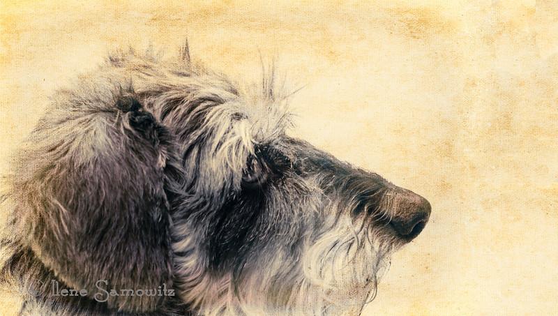 IR portrait of Misty my mini wired haired dachshund.