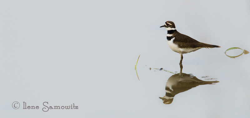 Killdeer in the swan pond, Fir Island, Skagit, WA