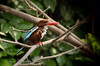 White-throated Kingfisher found in the Ranganthittu Bird Sanctuary outside of Mysore, India
