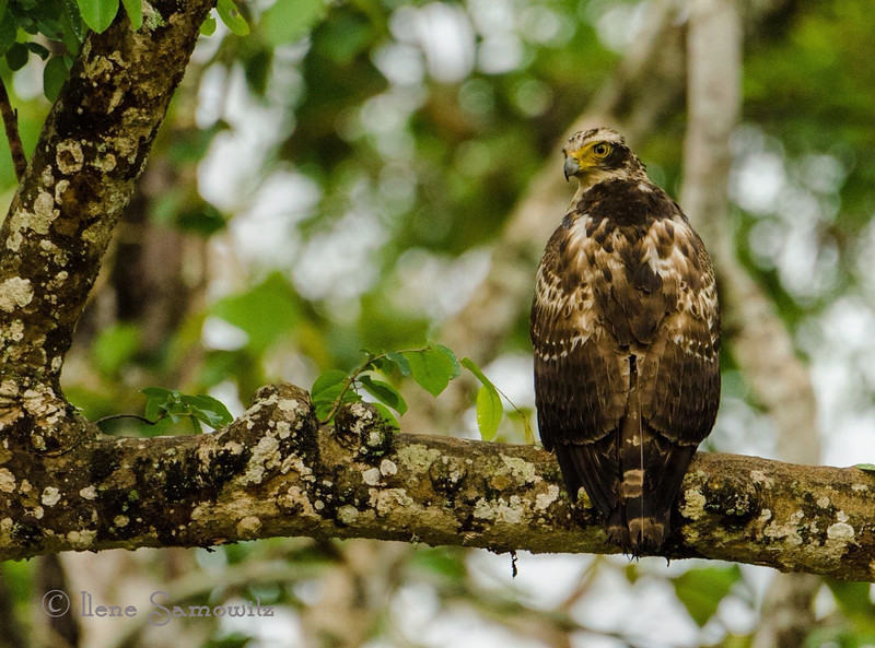 Serpent Eagle (?) in Nagarhole, India