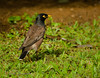 Common Myna in Kauai