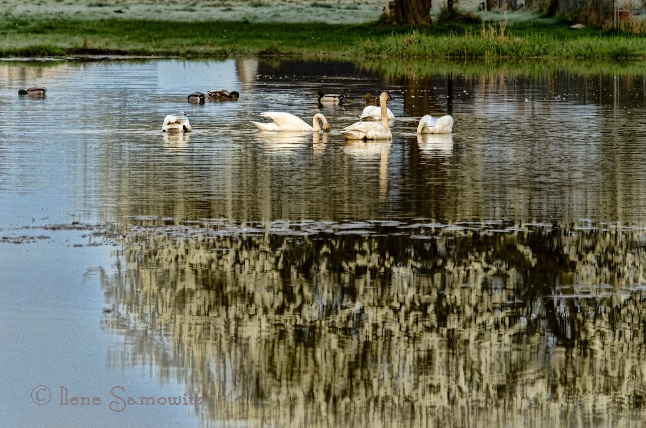 Swans in a pond