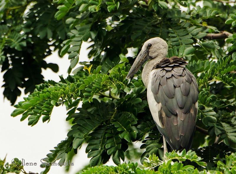 Juvenile Painted Stork found in the Ranganthittu Bird Sanctuary outside of Mysore, India