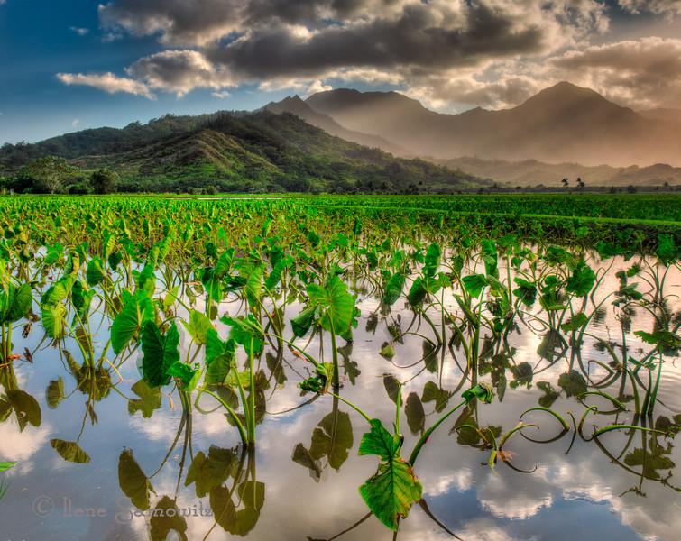 Taro fields at sunset. Taken at the Hanalei National Wildlife Refuge, Kauai.
