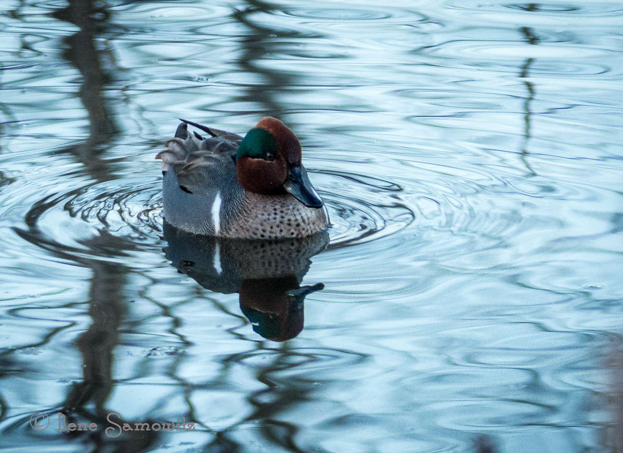 Green-winged Teal at Magnuson Park, Seattle