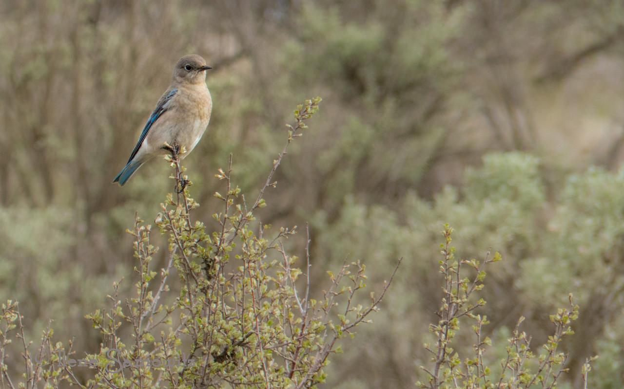 Mountain Bluebird female in Ellensburg, WA found on Umptanem Road
