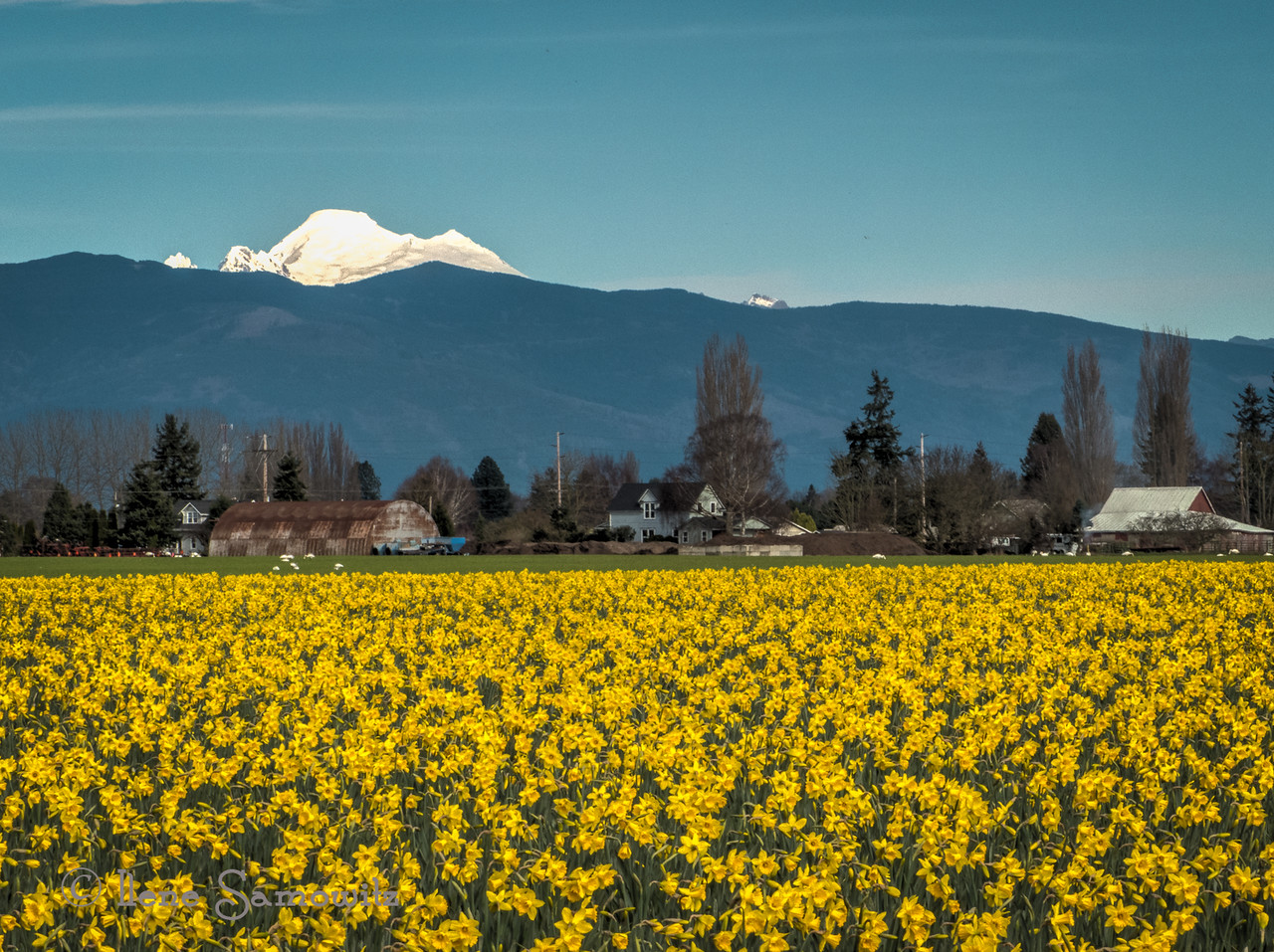 Mount Baker and Daffs
