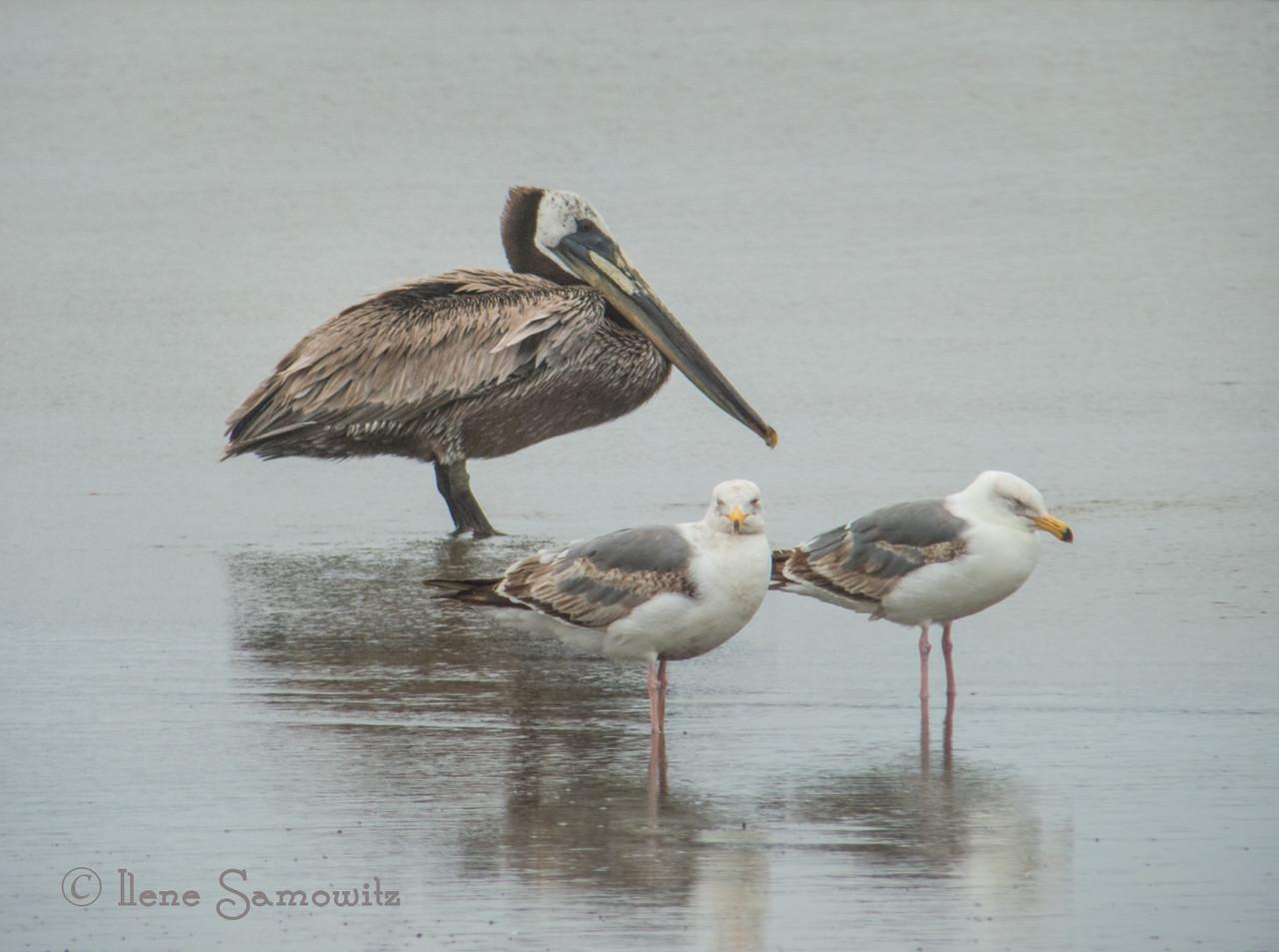 The trio of birds in Bandon, OR.