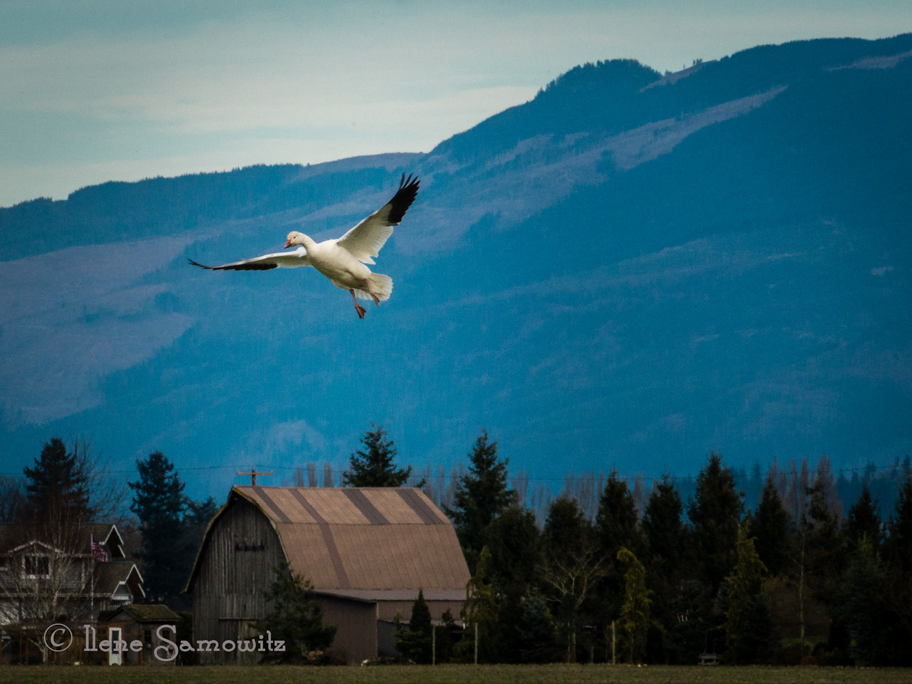 Snow Goose Coming in for a landing in the Skagit in Washigton.