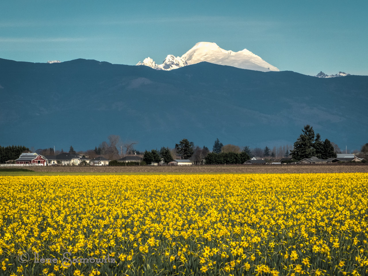 Mount baker and daffodils