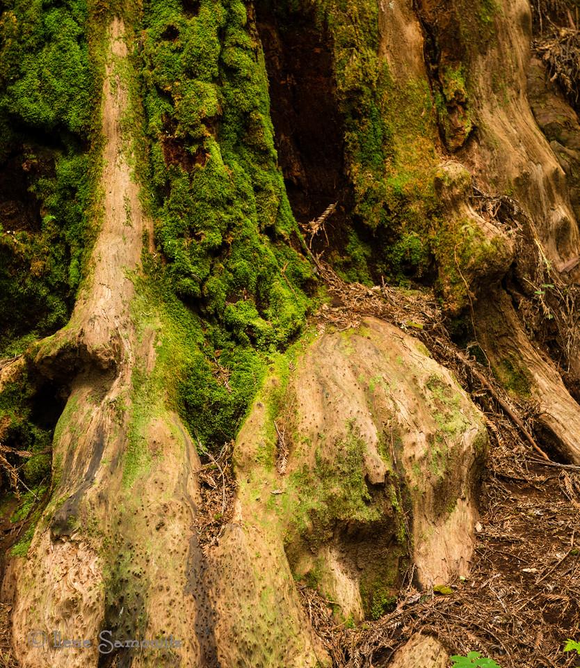 redwood majestry