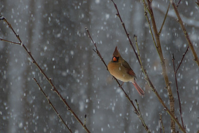 Cardinal in a peach tree