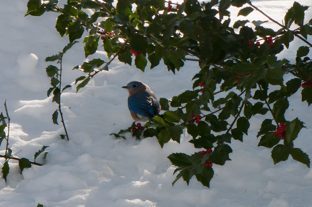 Bluebird in a holley bush on a cold winter day.