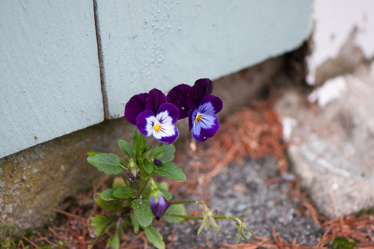 Tom's Garden. It takes tremendous talent and perserverance to grow flowers like these in concrete and pavement.