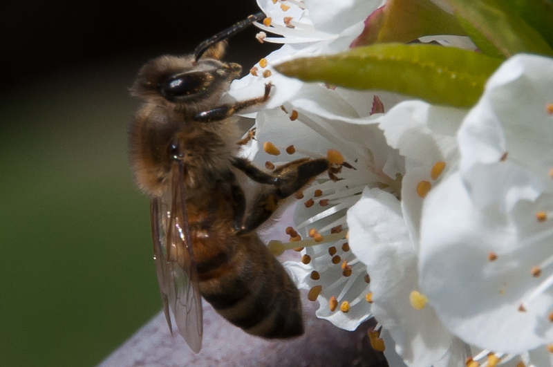 Honey Bee Working In A Plum Blossom