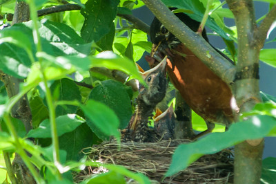 Robin feeding the young.