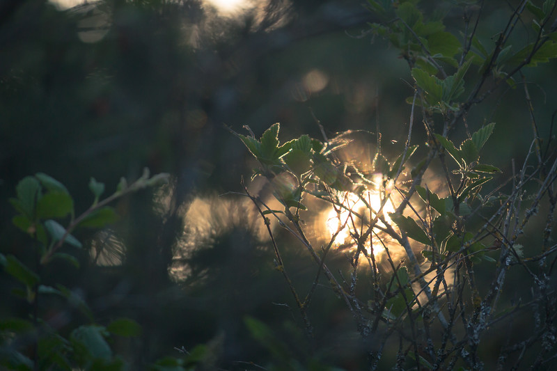 last light through the bushes