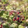 blackberry season is upon us