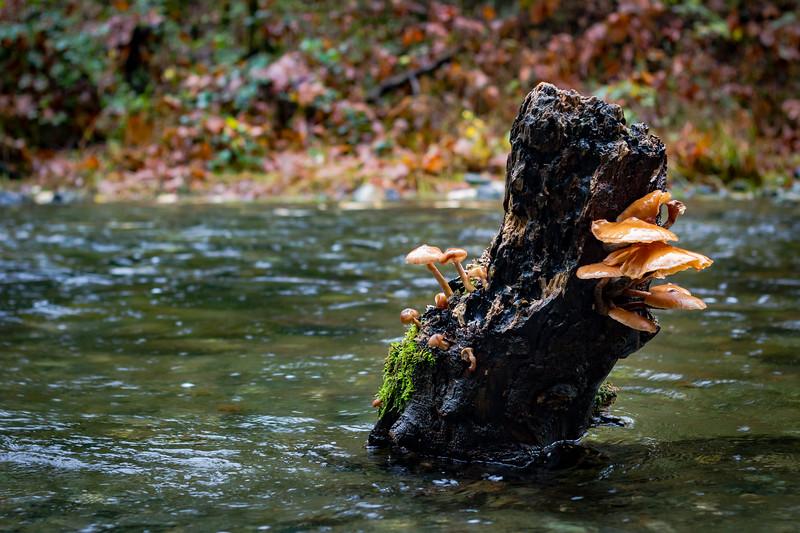 river shrooms