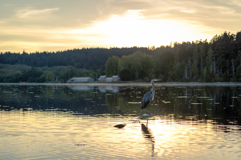 heron at esquimalt lagoon