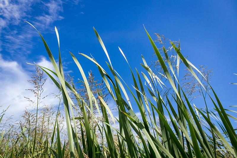 swan lake grass