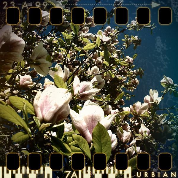 April 8th: Magnolia tree