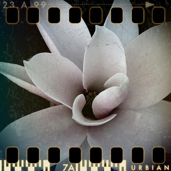 April 6th II: Magnolia blossom