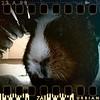 December 18th II: The big bad guinea pig