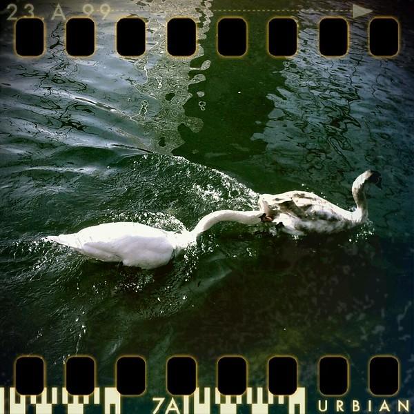 February 21st I: Swan fight