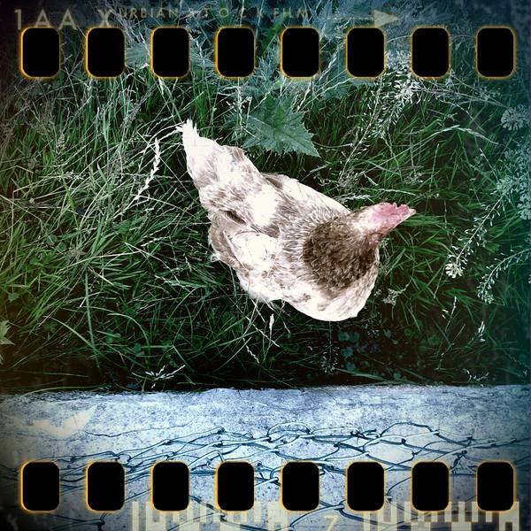 July 8th II: Hen