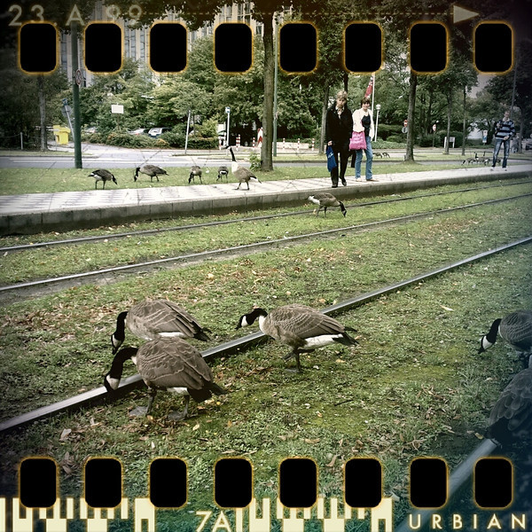 July 29th: Daring geese