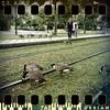 July 29th: Daring geese