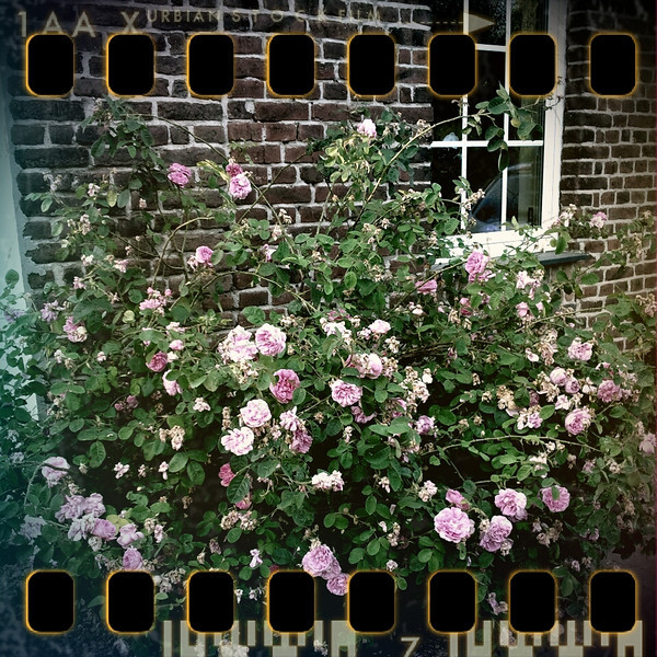 June 7th II: Rosebush