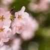 4/18/2018- Cherry Blossom Bokeh