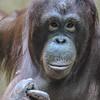 2/2/2018 - Orangutan Stare Off