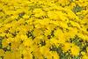 Yellow Chrysanthemum Display