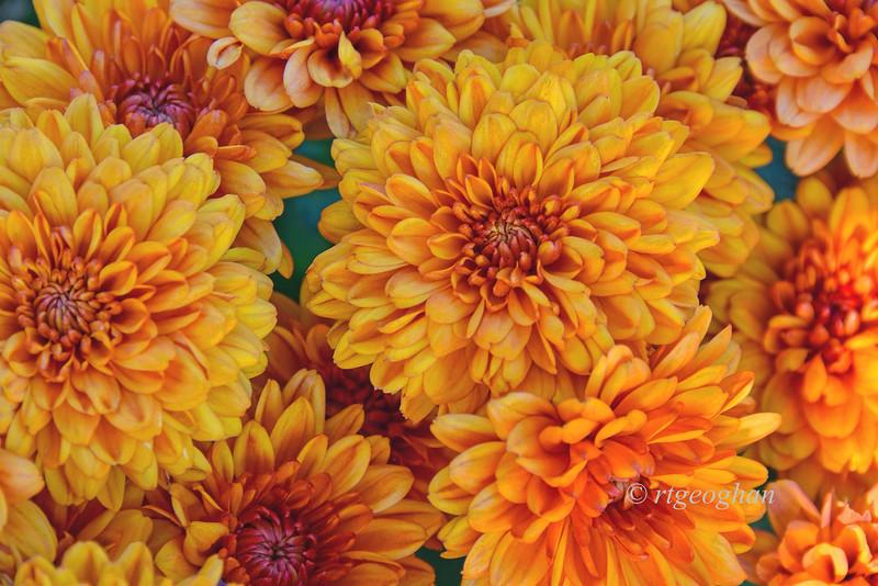 Autumn Bronze Chrysanthemums