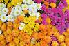 Chrysanthemum Display Multi-colored