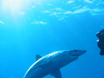 Shark Dive 2005